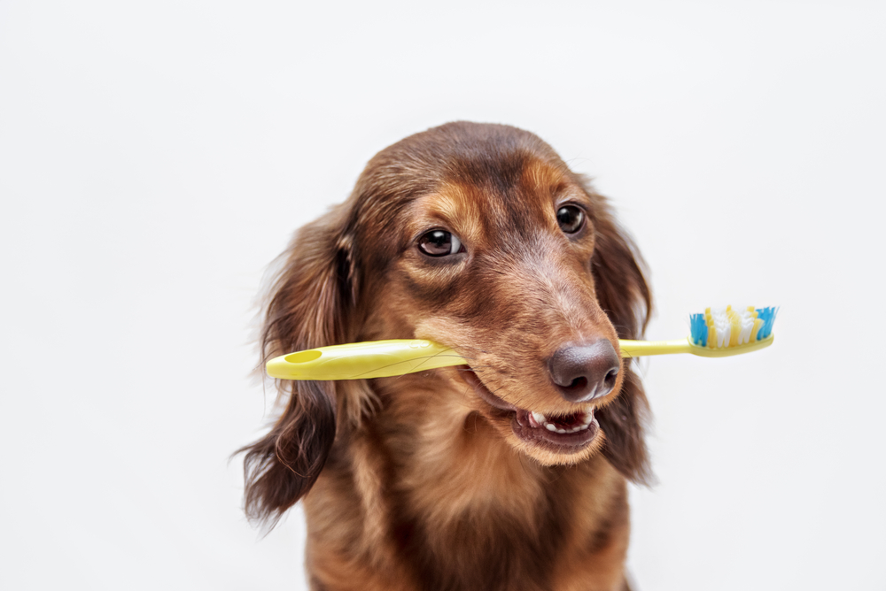 a dog holding a toothbrush with its teeth